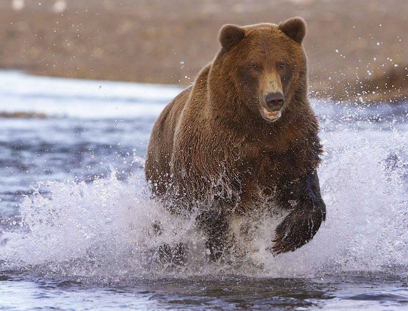 Баргузинский заповедник бурый медведь фото